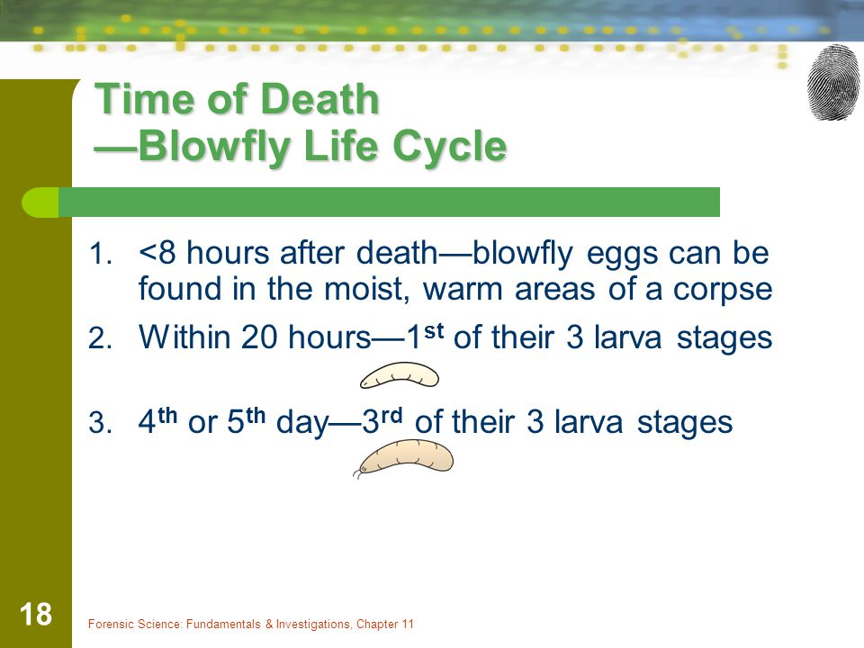 Forensic Science: Fundamentals & Investigations, Chapter 11 18 Time of Death —Blowfly Life Cycle 1. <8 hours after death—blowfly eggs can be found in