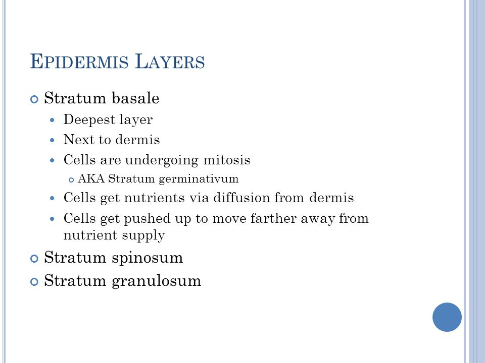 E PIDERMIS L AYERS Stratum basale Deepest layer Next to dermis Cells are undergoing mitosis AKA Stratum germinativum Cells get nutrients via diffusion