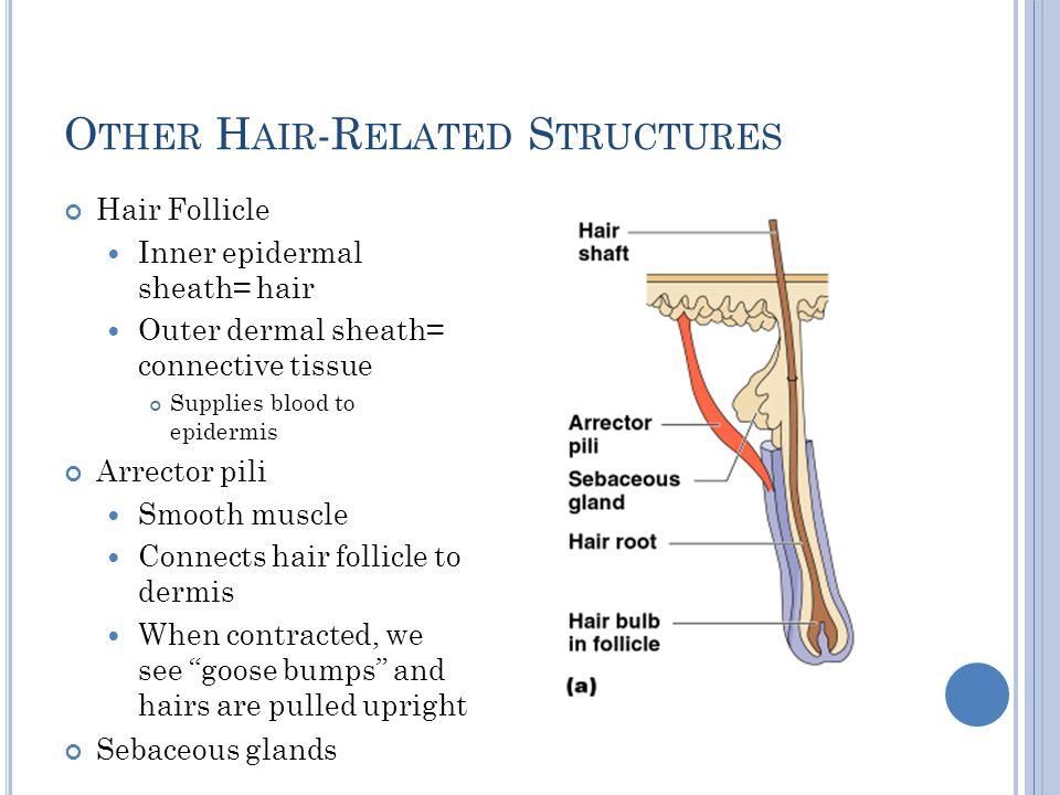 O THER H AIR -R ELATED S TRUCTURES Hair Follicle Inner epidermal sheath= hair Outer dermal sheath= connective tissue Supplies blood to epidermis Arrec