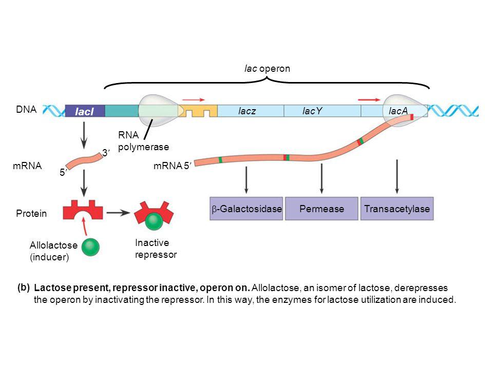 mRNA 5' DNA mRNA Protein Allolactose (inducer) Inactive repressor lacl lacz lacYlacA RNA polymerase PermeaseTransacetylase  -Galactosidase 5 3 (b) La