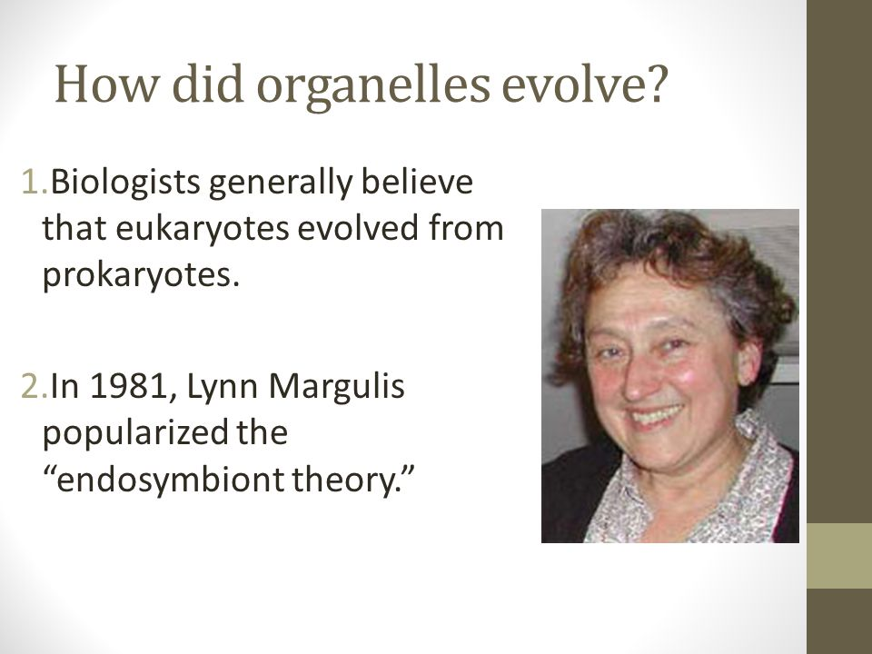 """How did organelles evolve? 1.Biologists generally believe that eukaryotes evolved from prokaryotes. 2.In 1981, Lynn Margulis popularized the """"endosymb"""