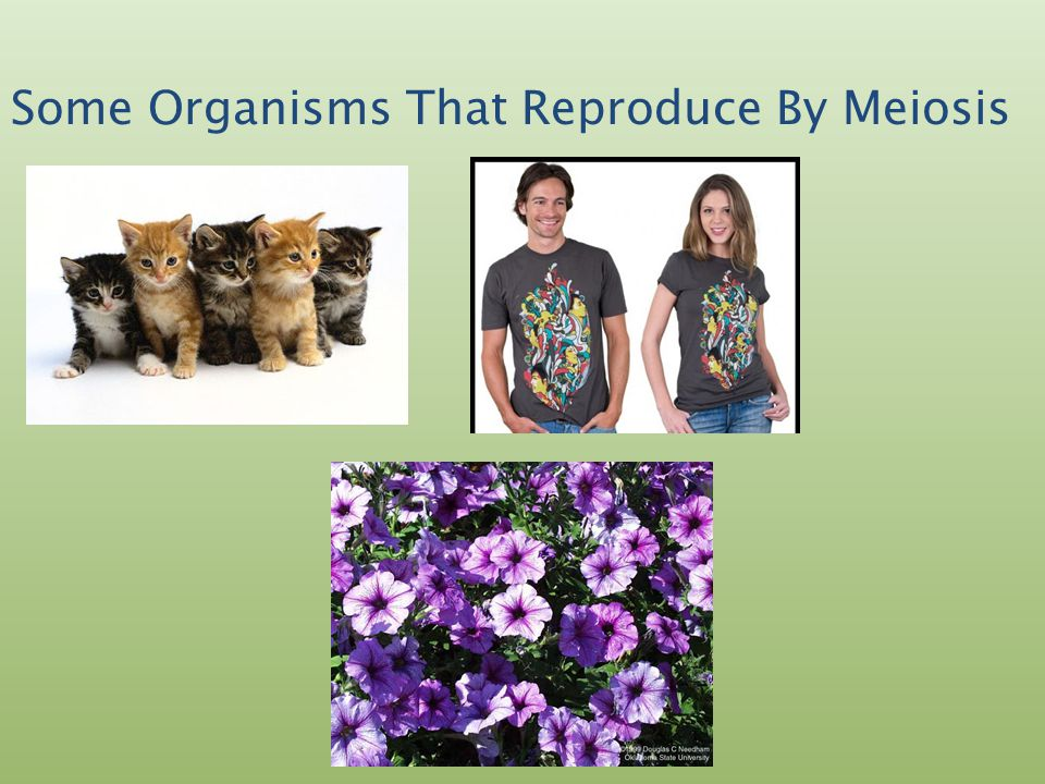 What is the process of Meiosis