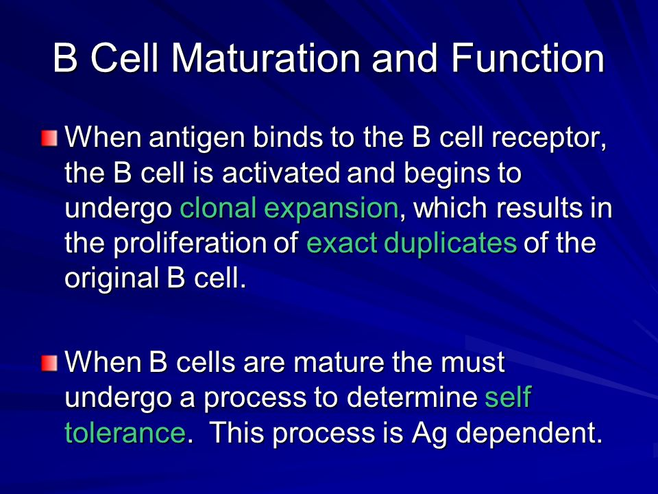 B Cell Maturation and Function When antigen binds to the B cell receptor, the B cell is activated and begins to undergo clonal expansion, which result