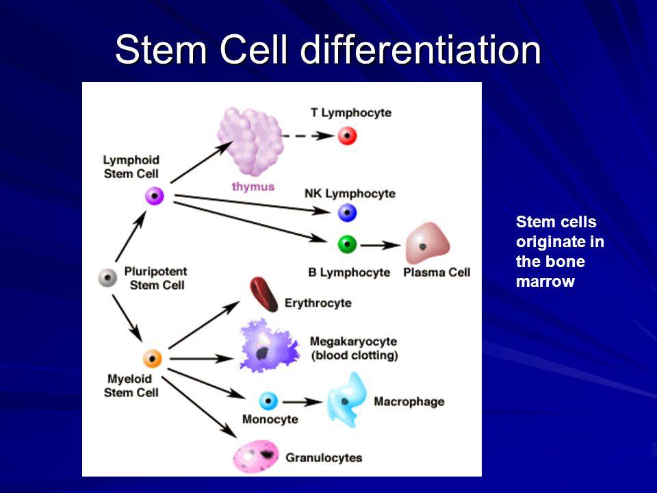 Stem Cell differentiation Stem cells originate in the bone marrow