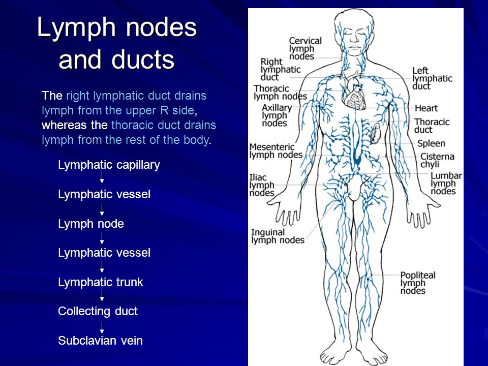 Lymph nodes and ducts The right lymphatic duct drains lymph from the upper R side, whereas the thoracic duct drains lymph from the rest of the body. L