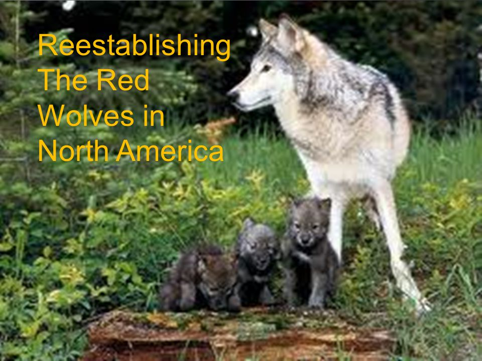 Info Name: Red Wolf Living Range: All of the Us Weight :40-175 LB.
