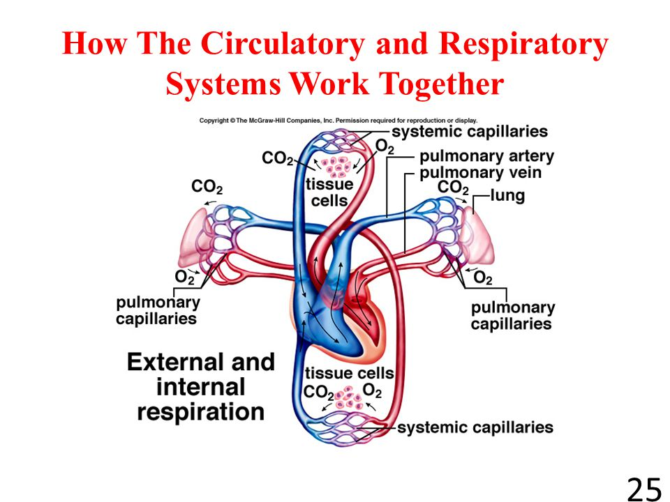 How the cardiovascular and respiratory system work together how the cardiovascular and respiratory system work together ccuart Image collections