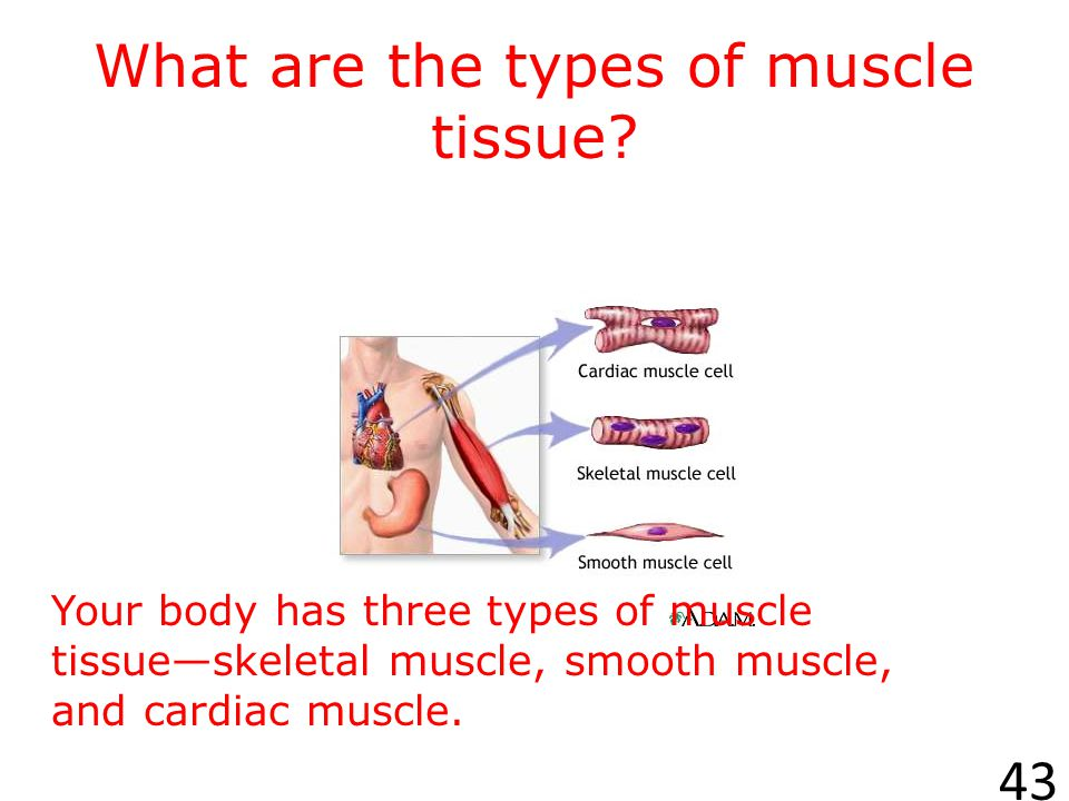 DR. I.I.L. MCSNEER Presents… Your Muscular System 42