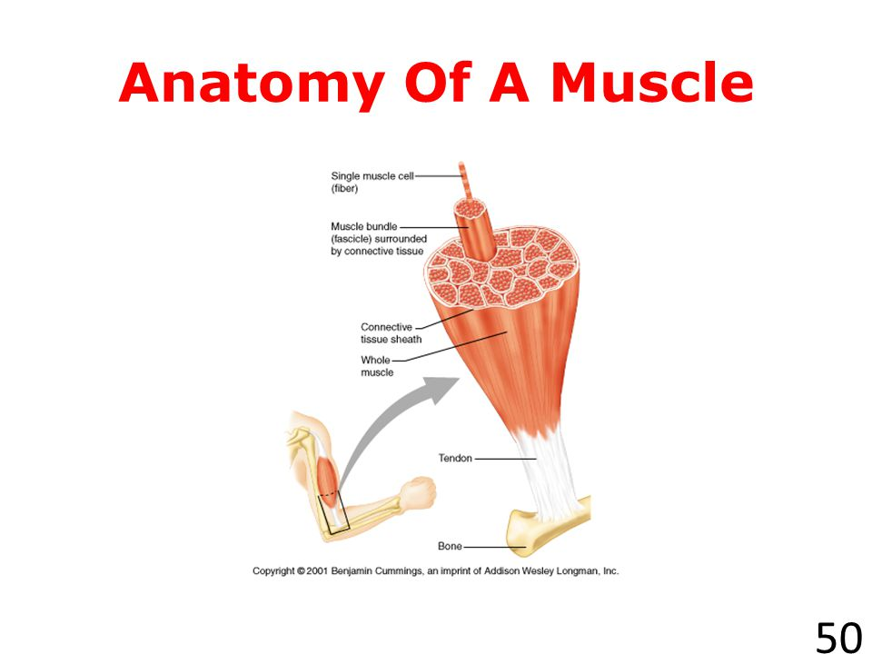 How Do Muscles Work.49 Muscles work by contracting, or becoming shorter and thicker.