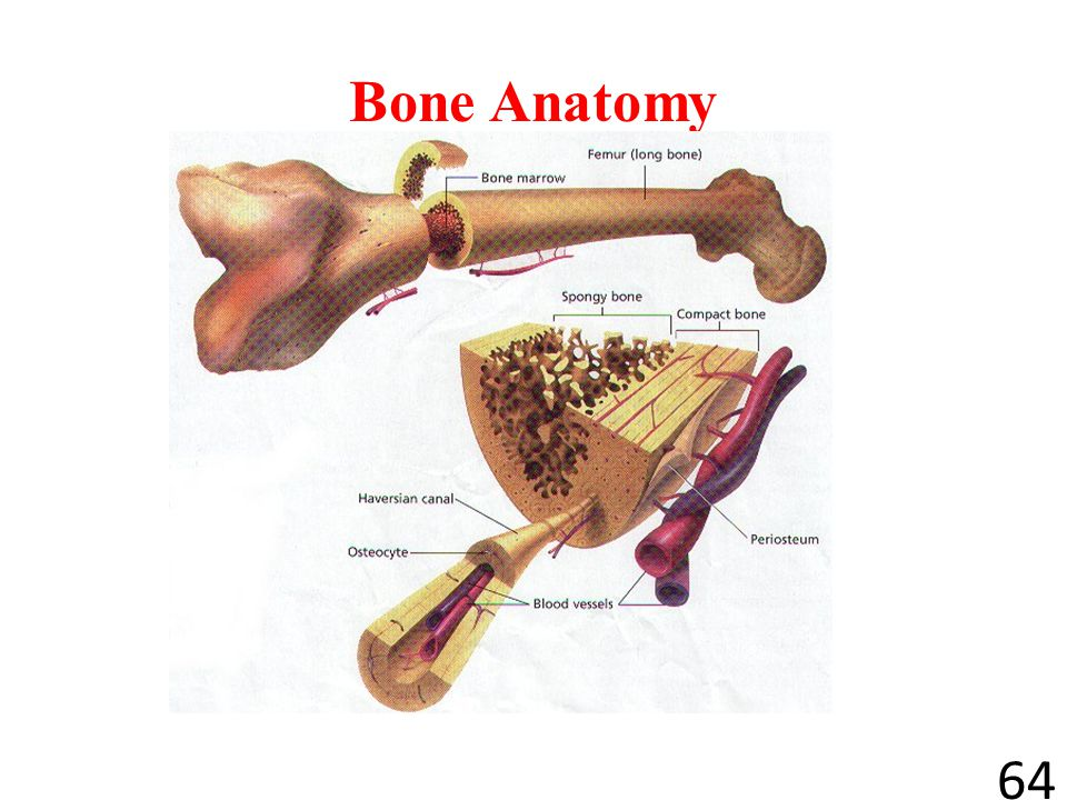 The Structure of Bone 63 Many bones have the same basic structure. A thin, tough membrane covers all of a bone except the ends. Blood vessels and nerv