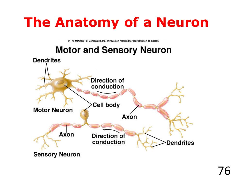 What are neurons? 75 The cells that carry information through your nervous system are called neurons, or nerve cells. The message that a neuron carrie