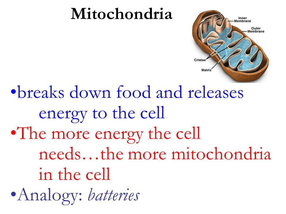breaks down food and releases energy to the cell The more energy the cell needs…the more mitochondria in the cell Analogy: batteries