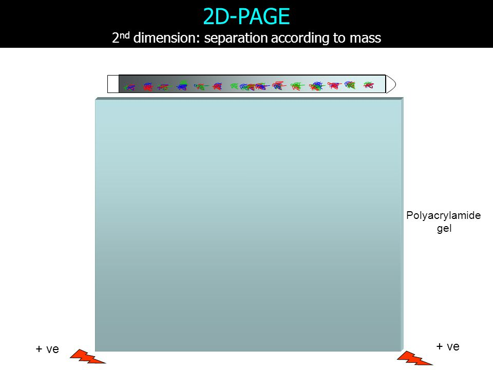 2D-PAGE 2 nd dimension: separation according to mass Polyacrylamide gel + ve