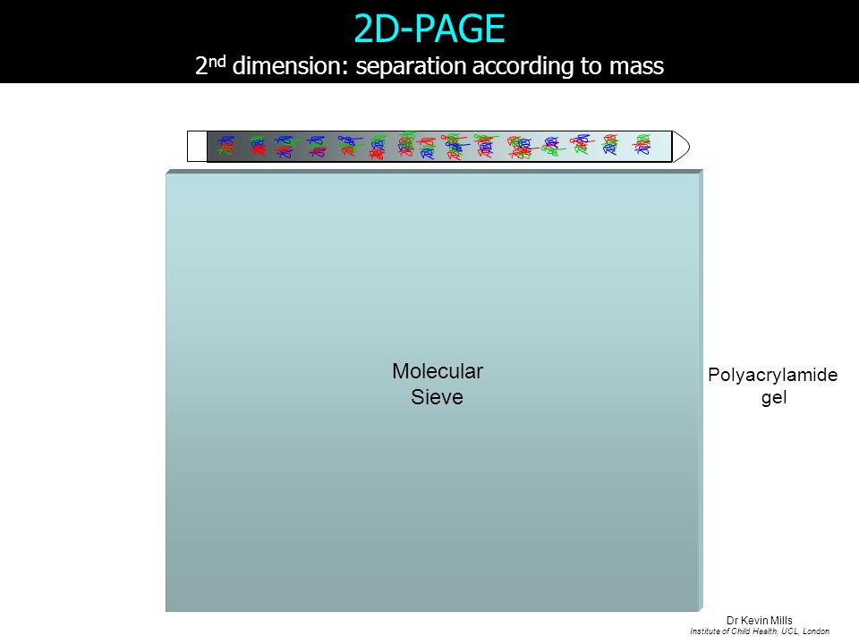 2D-PAGE 2 nd dimension: separation according to mass Polyacrylamide gel Molecular Sieve Dr Kevin Mills Institute of Child Health, UCL, London