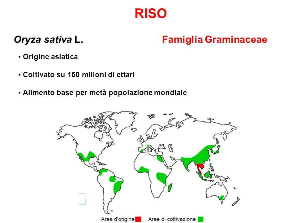 RISO Oryza sativa L.
