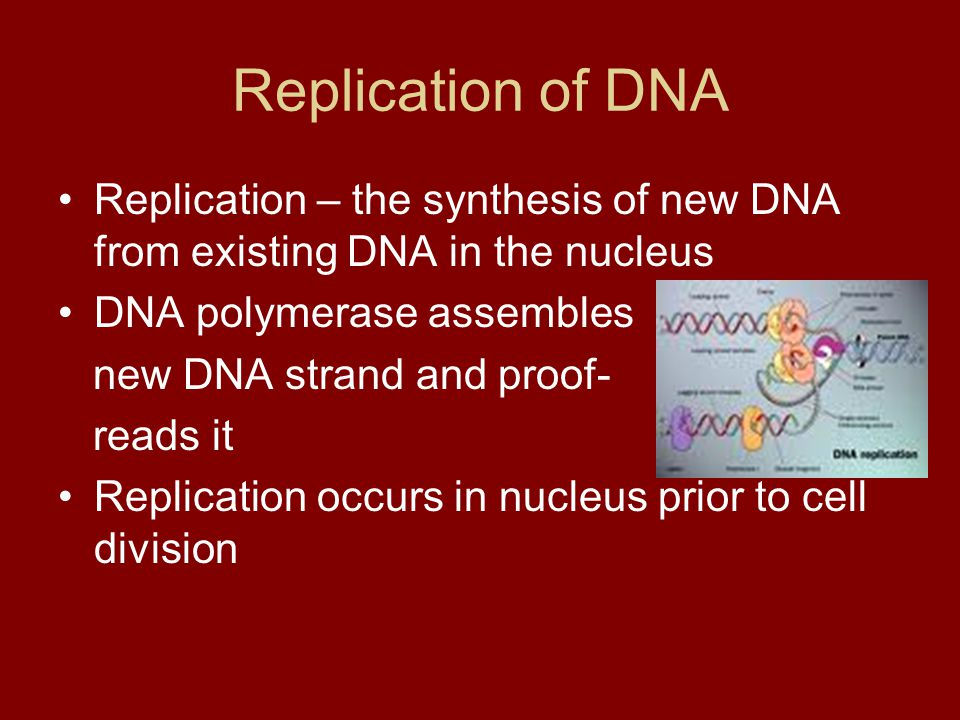 Replication of DNA Replication – the synthesis of new DNA from existing DNA in the nucleus DNA polymerase assembles new DNA strand and proof- reads it