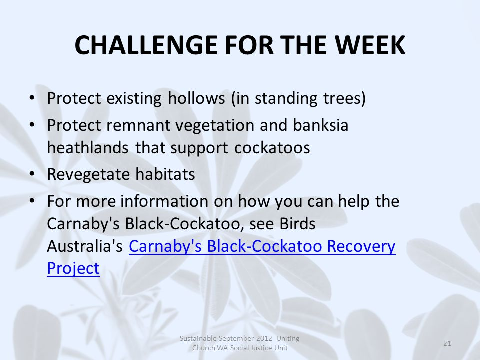 CHALLENGE FOR THE WEEK Protect existing hollows (in standing trees) Protect remnant vegetation and banksia heathlands that support cockatoos Revegetate habitats For more information on how you can help the Carnaby s Black-Cockatoo, see Birds Australia s Carnaby s Black-Cockatoo Recovery Project Carnaby s Black-Cockatoo Recovery Project Sustainable September 2012 Uniting Church WA Social Justice Unit 21