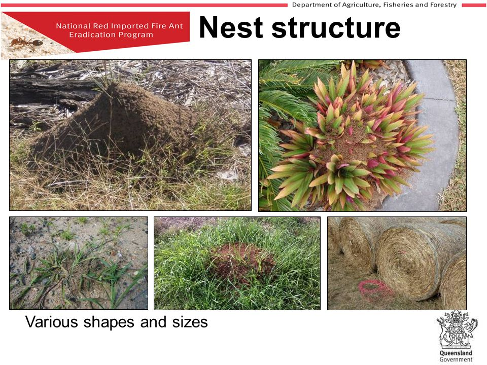 If you suspect a nest as being fire ants report it to Biosecurity Queensland on 13 25 23 What happens next.