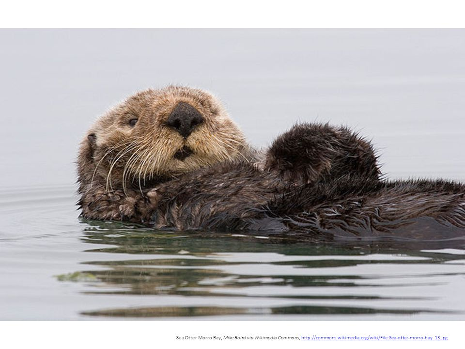 Sea Otter Morro Bay, Mike Baird via Wikimedia Commons,