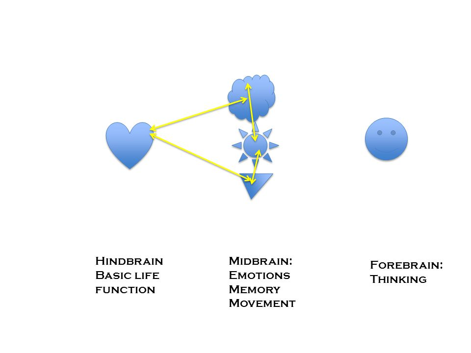 Hindbrain Basic life function Midbrain: Emotions Memory Movement Forebrain: Thinking
