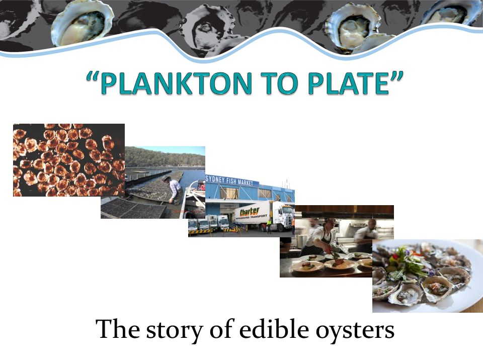 The story of edible oysters