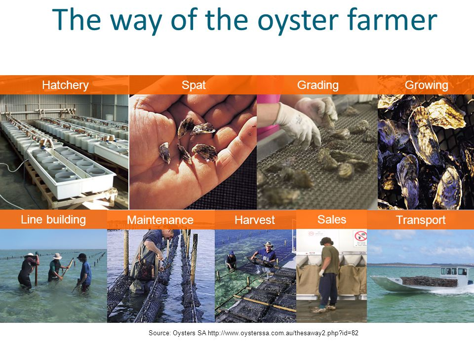 The way of the oyster farmer HatcherySpatGradingGrowing Line building MaintenanceHarvest Sales Transport Source: Oysters SA http://www.oysterssa.com.au/thesaway2.php id=82