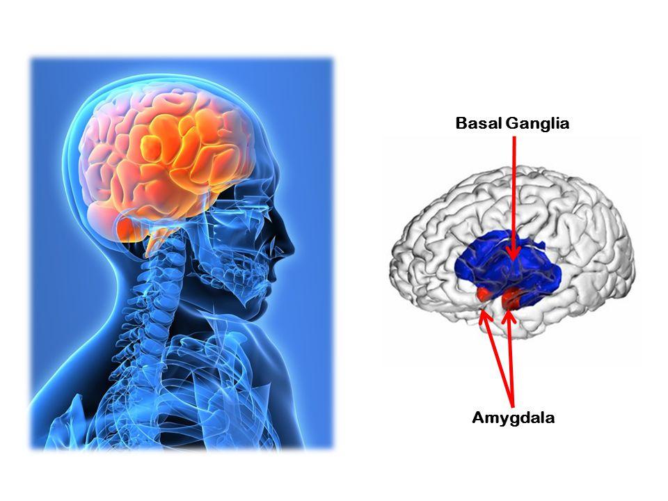 Basal Ganglia Amygdala
