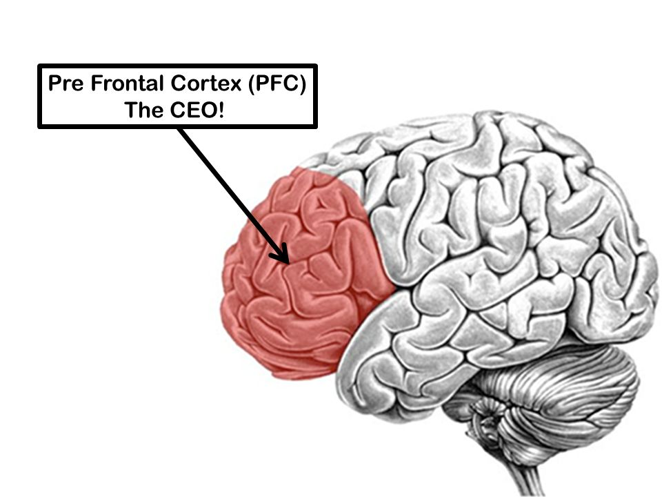 Pre Frontal Cortex (PFC) The CEO!