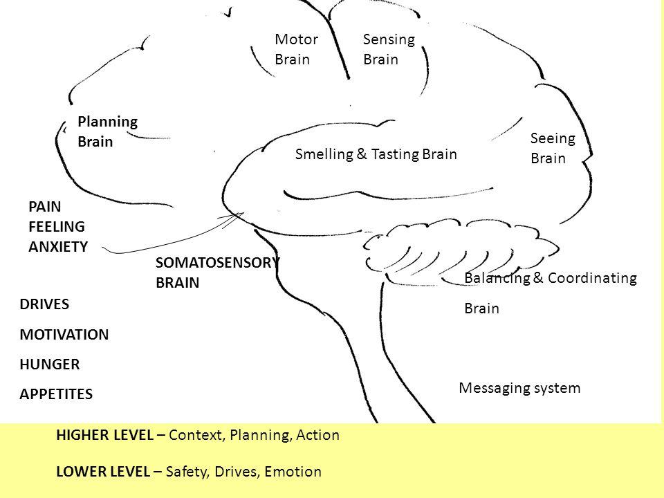 Sensing Brain Seeing Brain Motor Brain Planning Brain Smelling & Tasting Brain Balancing & Coordinating Brain Messaging system PAIN FEELING ANXIETY DRIVES MOTIVATION HUNGER APPETITES SOMATOSENSORY BRAIN HIGHER LEVEL – Context, Planning, Action LOWER LEVEL – Safety, Drives, Emotion