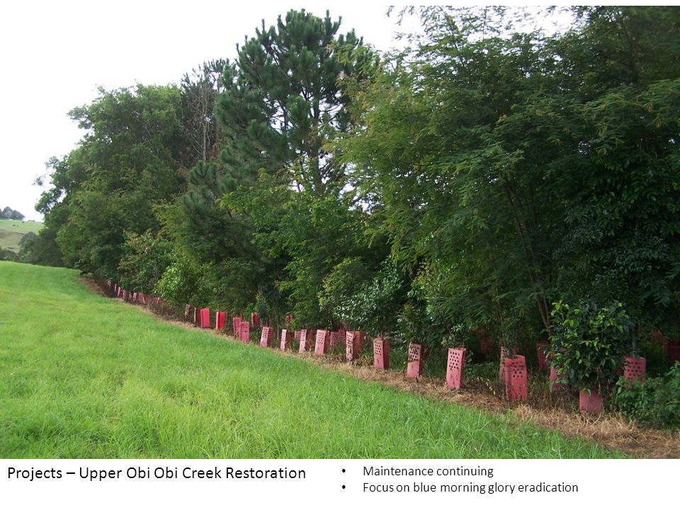 Maintenance continuing Focus on blue morning glory eradication Projects – Upper Obi Obi Creek Restoration
