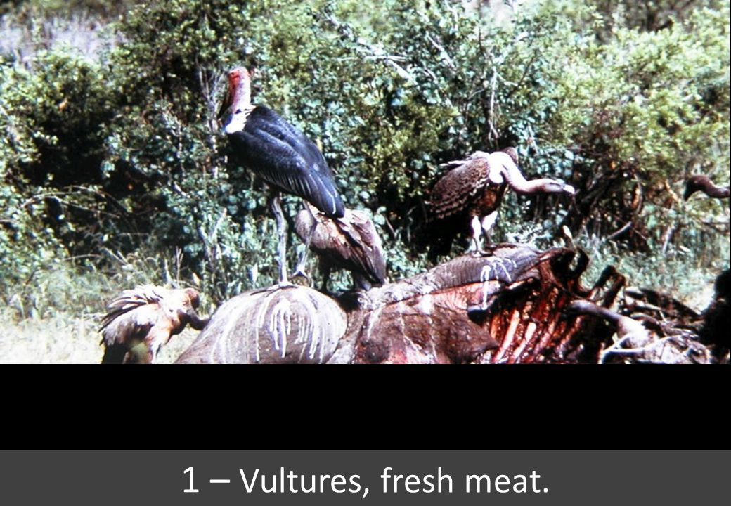 1 – Vultures, fresh meat.