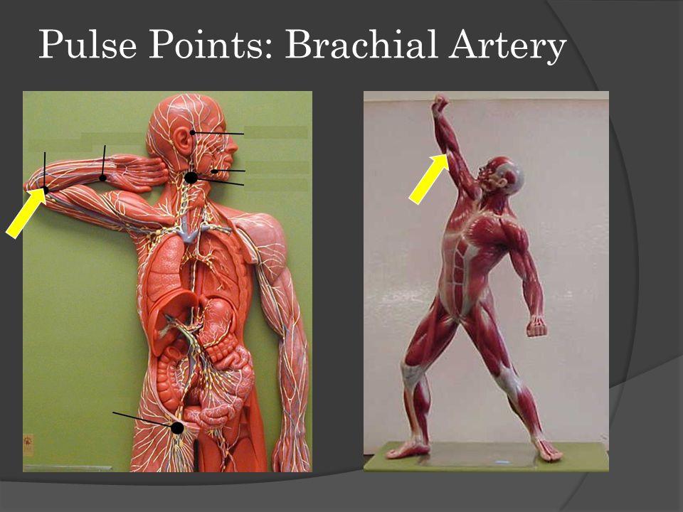 Pulse Points: Brachial Artery