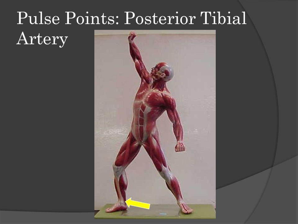 Pulse Points: Dorsalis Pedis Artery