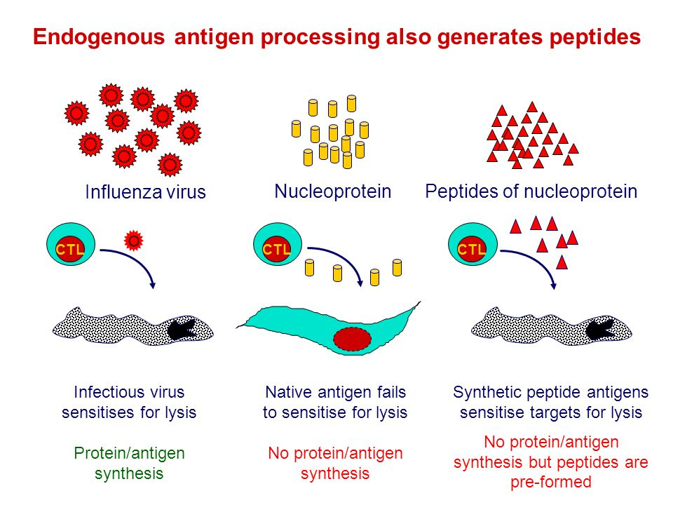 Endogenous antigen processing also generates peptides Peptides of nucleoprotein Native antigen fails to sensitise for lysis No protein/antigen synthes