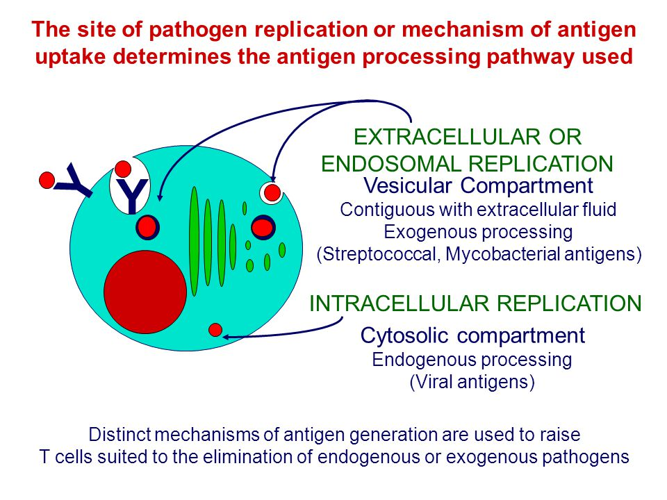 Y The site of pathogen replication or mechanism of antigen uptake determines the antigen processing pathway used Y Cytosolic compartment Endogenous pr