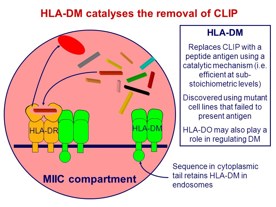 HLA-DM catalyses the removal of CLIP MIIC compartment HLA-DM Replaces CLIP with a peptide antigen using a catalytic mechanism (i.e. efficient at sub-