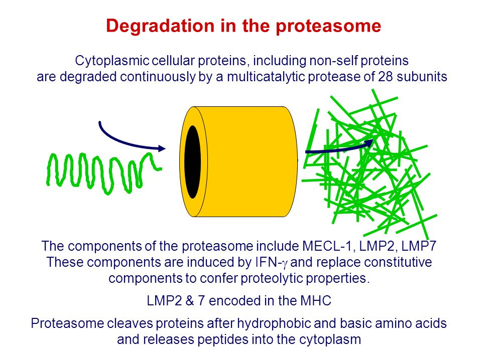 Degradation in the proteasome The components of the proteasome include MECL-1, LMP2, LMP7 These components are induced by IFN-  and replace constitut