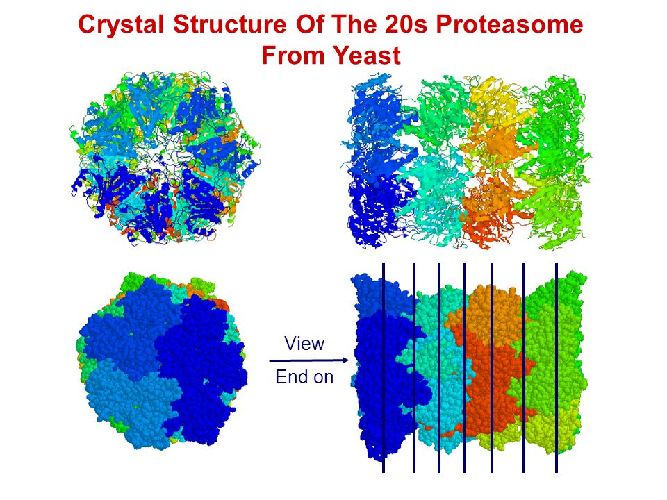 Crystal Structure Of The 20s Proteasome From Yeast View End on