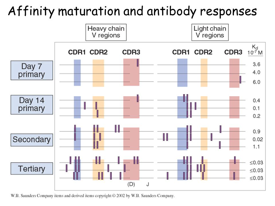 Affinity maturation and antibody responses