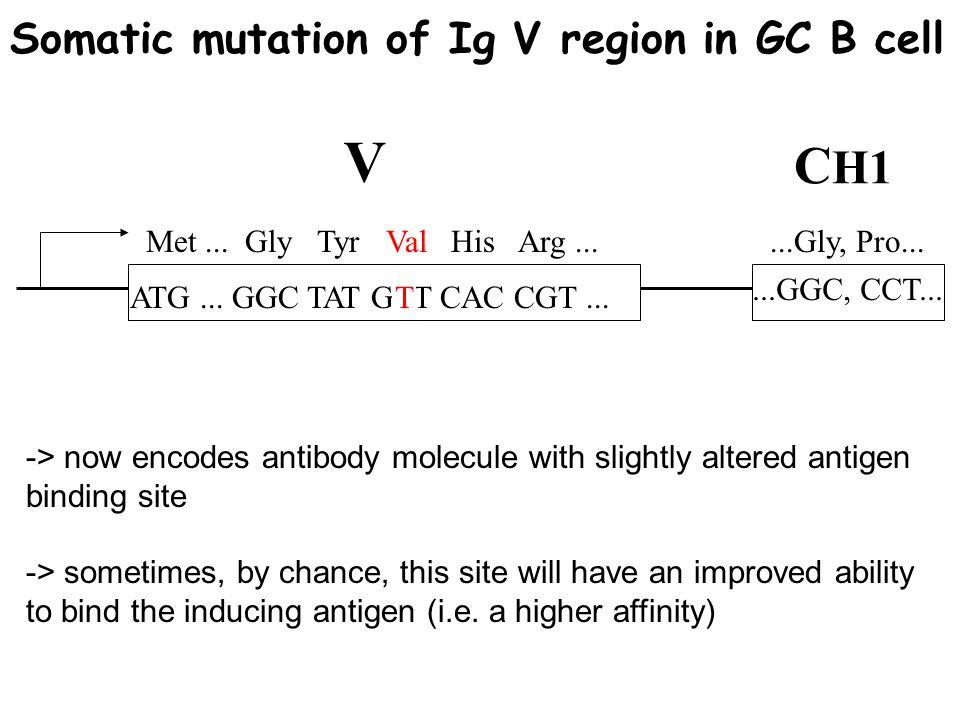ATG... GGC TAT GTT CAC CGT... Met... Gly Tyr Val His Arg... T Val...GGC, CCT......Gly, Pro... V C H1 Somatic mutation of Ig V region in GC B cell -> n