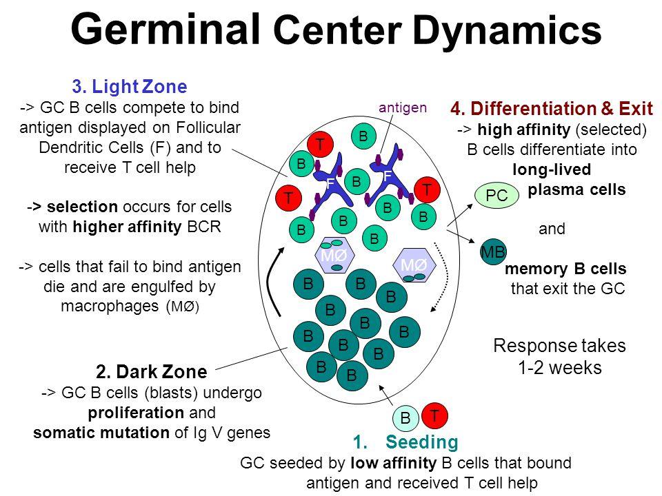 Germinal Center Dynamics B B B B B B B B B B B B MØ B T F F B B B B B T T T B B 2. Dark Zone -> GC B cells (blasts) undergo proliferation and somatic