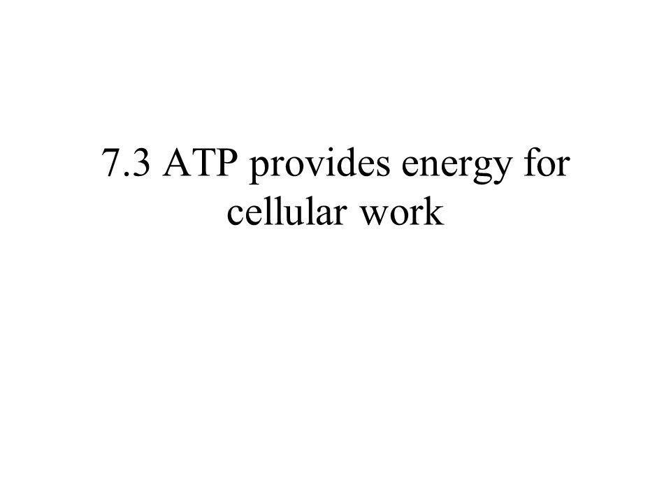 7.3 ATP provides energy for cellular work