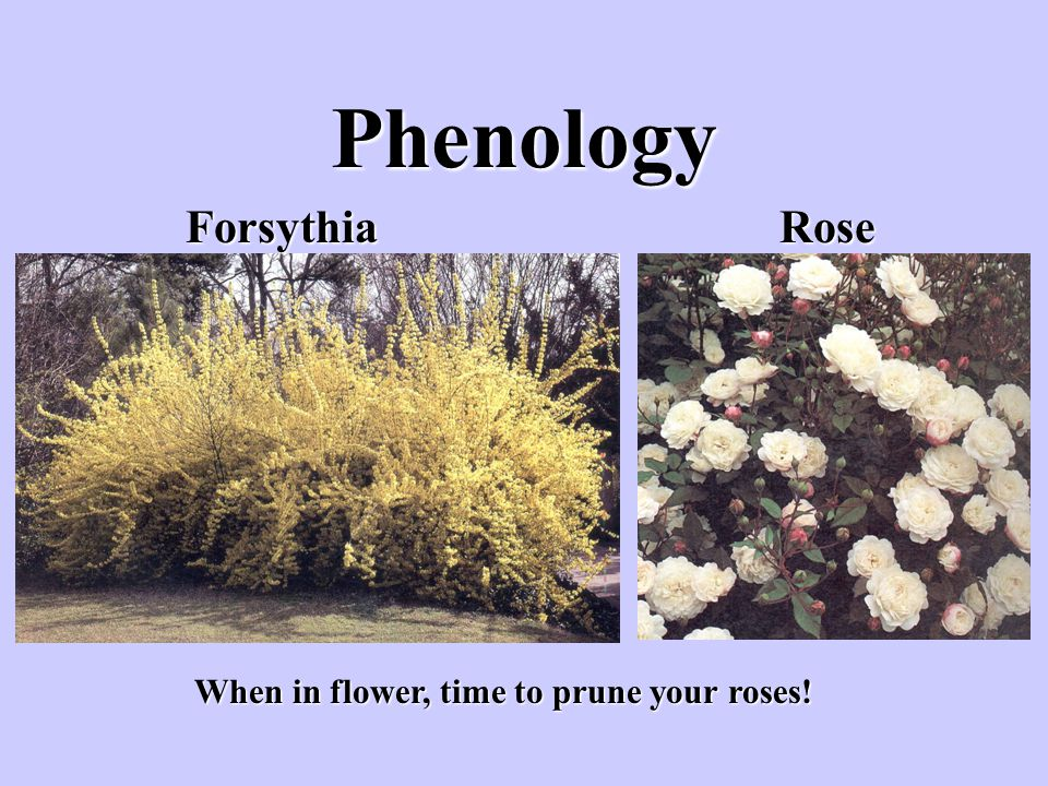 Phenology Forsythia Rose When in flower, time to prune your roses!