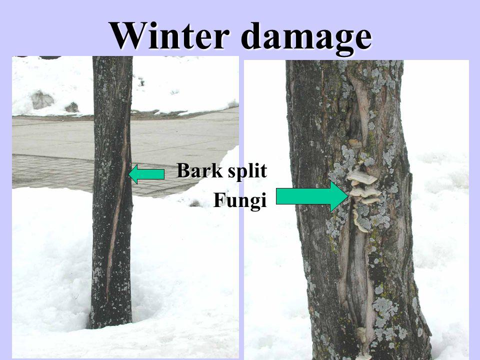 Bark split Fungi
