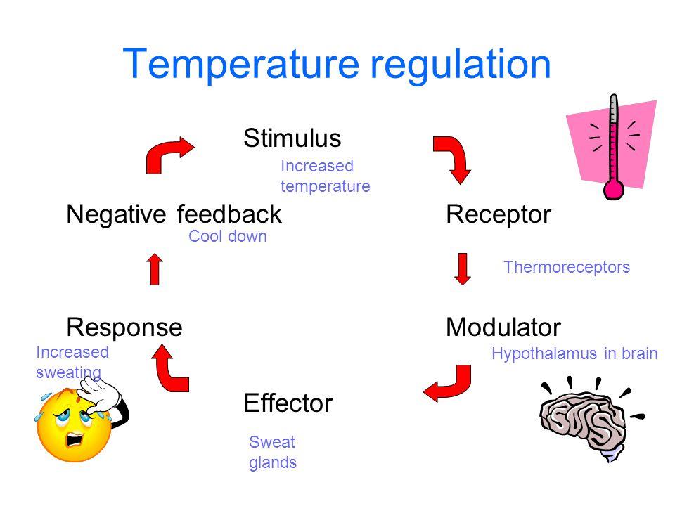 Temperature regulation Stimulus Negative feedbackReceptor ResponseModulator Effector Increased temperature Thermoreceptors Hypothalamus in brain Sweat glands Increased sweating Cool down