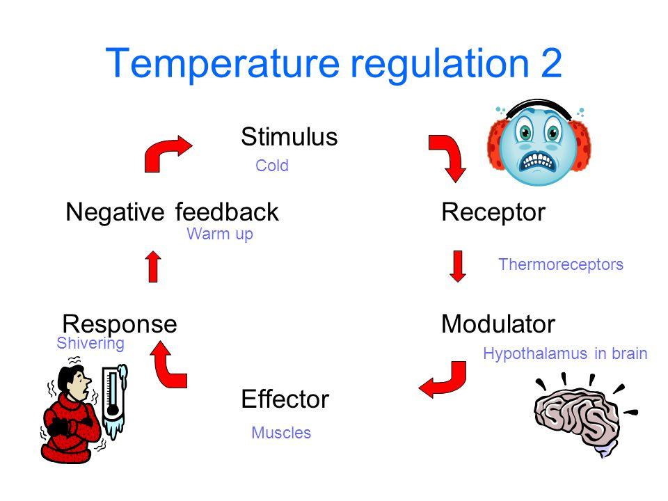 Temperature regulation 2 Stimulus Negative feedbackReceptor ResponseModulator Effector Thermoreceptors Hypothalamus in brain Cold Muscles Shivering Warm up