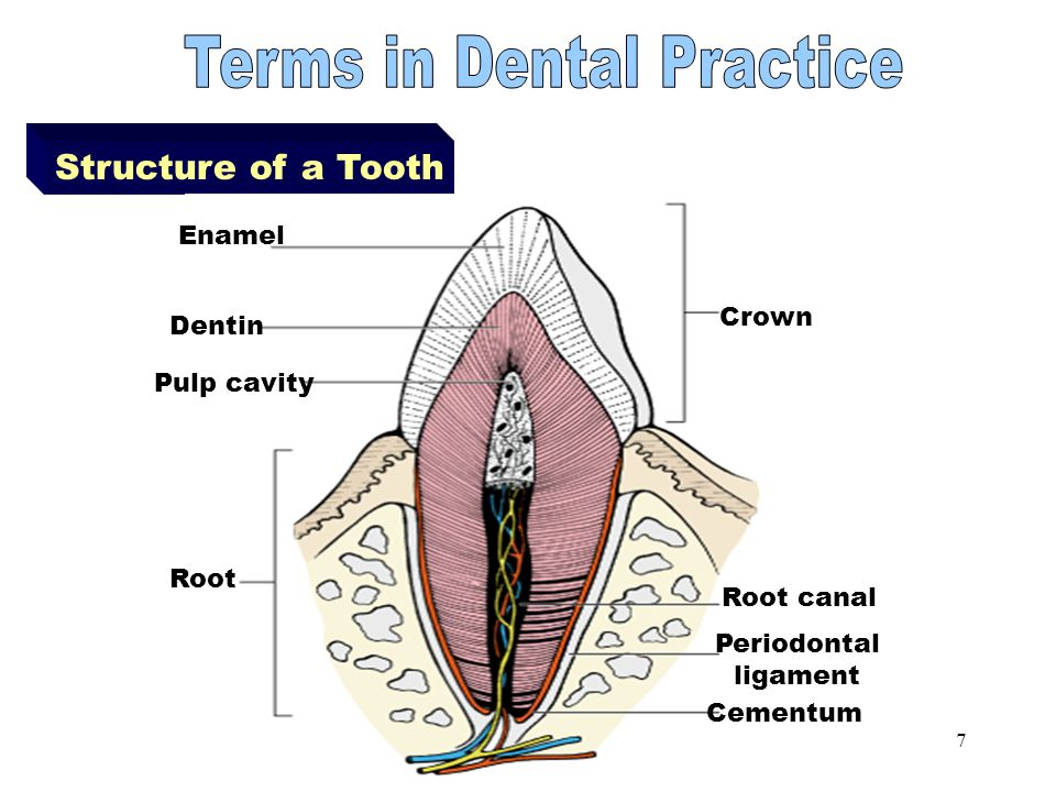 6 Parts of a Tooth Crown -part projecting above the jaw line -consists of an outer layer (enamel) and inner layer (dentin) Root -part below the jaw li