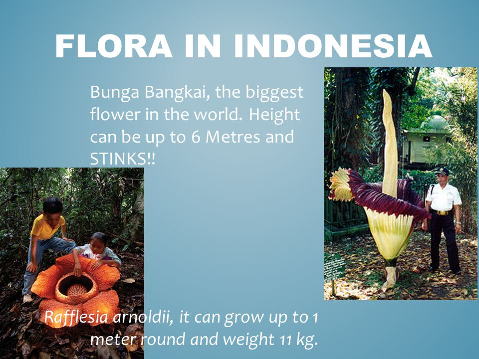 FLORA IN INDONESIA Rafflesia arnoldii, it can grow up to 1 meter round and weight 11 kg.