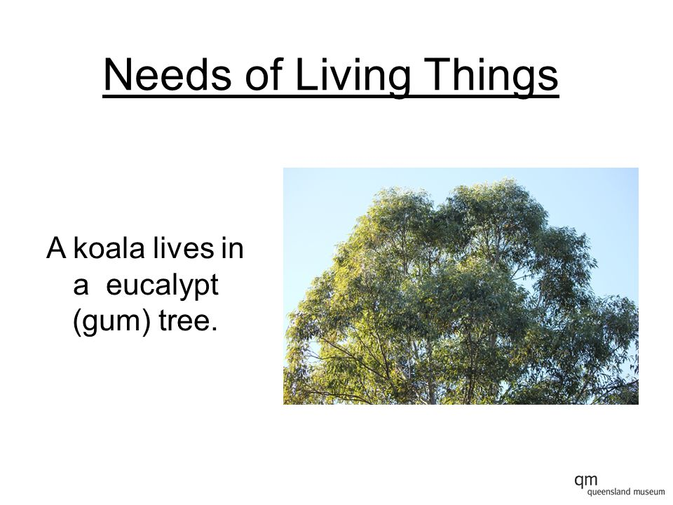 Needs of Living Things A koala lives in a eucalypt (gum) tree.