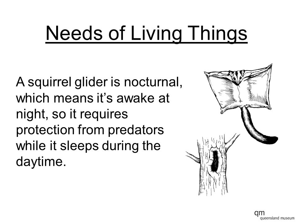 Needs of Living Things A squirrel glider is nocturnal, which means it's awake at night, so it requires protection from predators while it sleeps during the daytime.